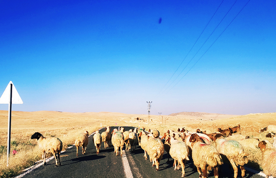 Sheep on the border with Syria